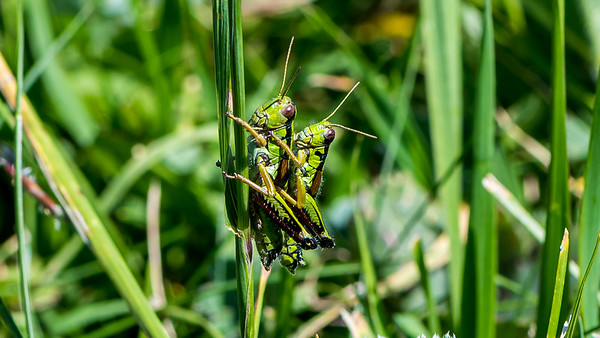 Alpine Gebirgsschrecke