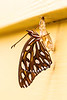 Gulf Fritillary - Agraulis vanillae - July 2013<br /> <br /> leaving the chrysalis
