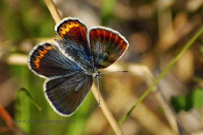 Karner Blue (female) Butterfly