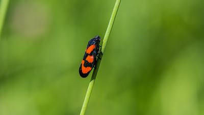 Cercopidae