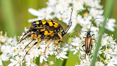 Longhorn Käfer