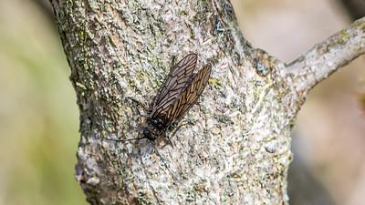 Alderfly