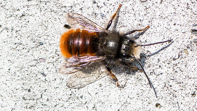 European Orchard Bee