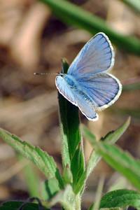 Karner Blue (male) Butterfly