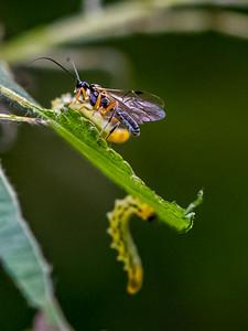 Flat-legged Tenthred Larvae