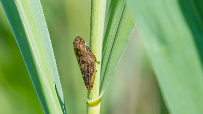 Meadow Froghopper