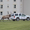Bull Elk Chases Ranger Vehicle in Yellowstone