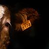 France - Boofzheim - Alsace cow with ear tag