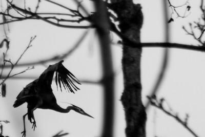 Kenmore Herons