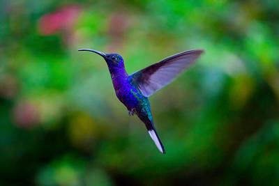 Violet Sabrewing hummingbird, La Paz Waterfall Gardens