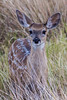 Carmen White-tailed Deer fawn