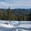 A red fox, Vulpes vulpes, roams the mountains of Colorado