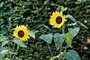 Sunflower taken at Marwell Zoo