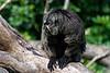 White-Faced Saki Monkey taken at Marwell Zoo