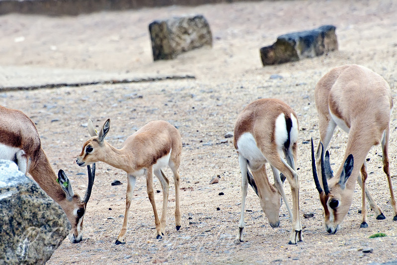 Baby Dorcas Gazelle