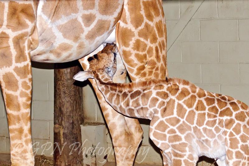 Feeding time at the giraffe house