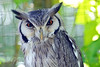 White Fronted Scops Owl