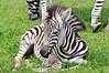 Baby Zebra Zeus