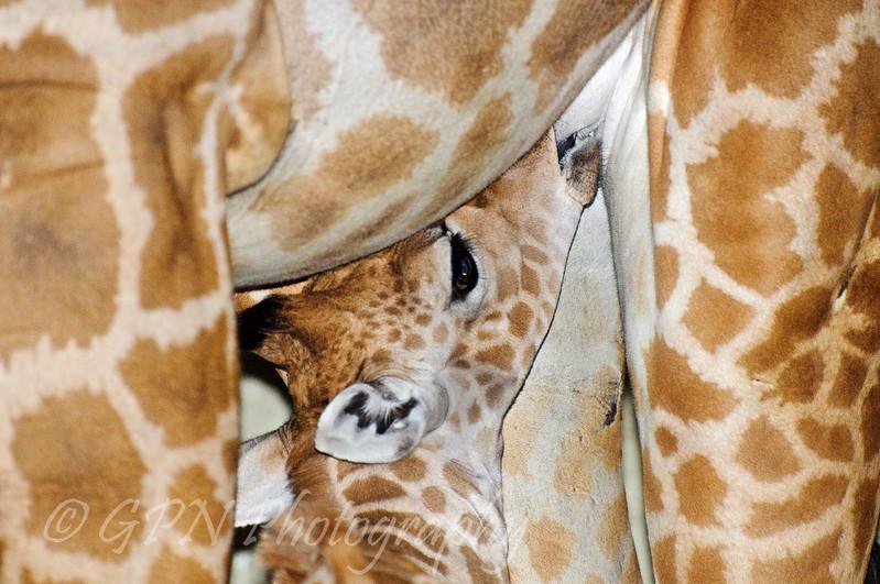 Baby Giraffe having a feed
