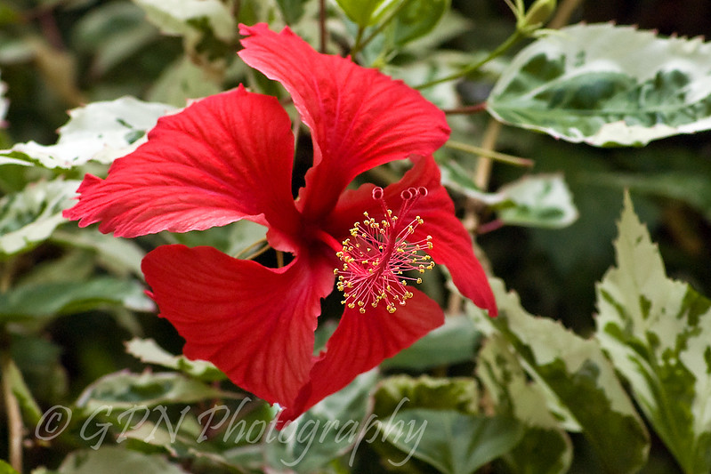 Hibiscus taken in the Tropical House