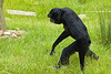 Siamang Gibbon walking