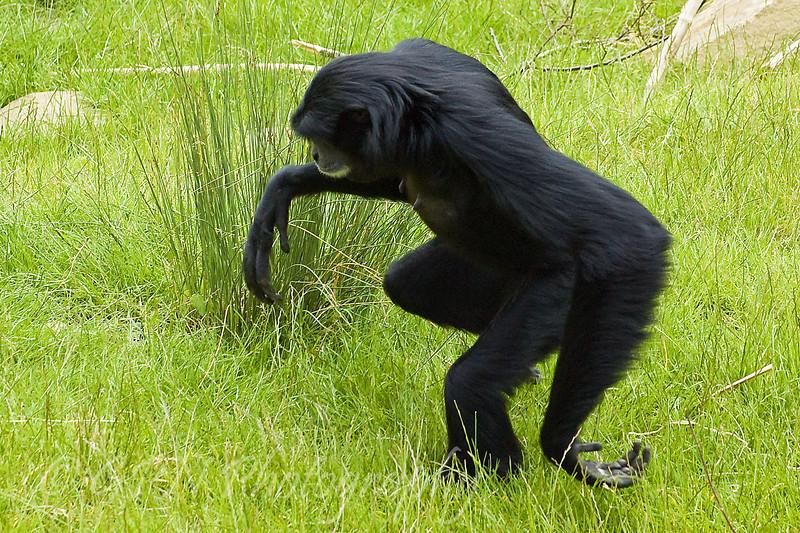 Siamang Gibbon walking