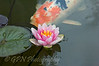 Water Lily & Coy Carp