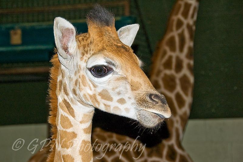 Christa - Baby Giraffe