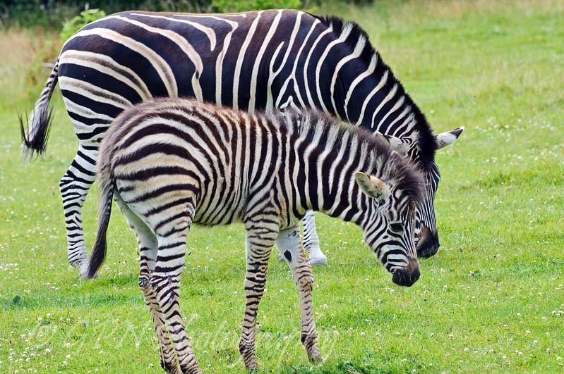 Zeus the baby Zebra