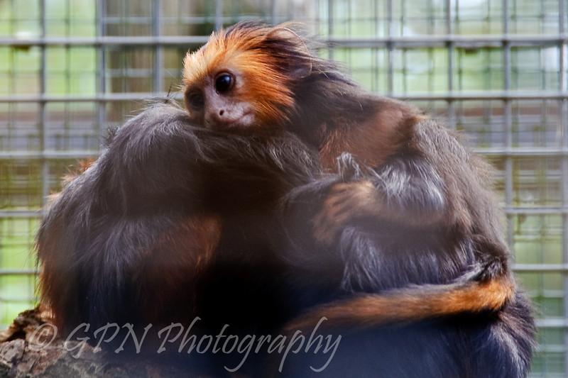 Baby Lion-Headed Tamarin