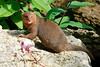 Pygmy Mongoose