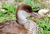 Juvenile Bahama Pintail Duck