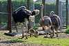 The Ostrich family