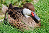 Bahama Pintail Duck