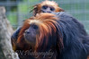 Lion-Headed Tamarin