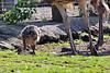 Baby Ostrich