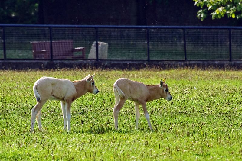 Baby Scimitar Horned Oryx