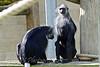 Colubus Monkey
