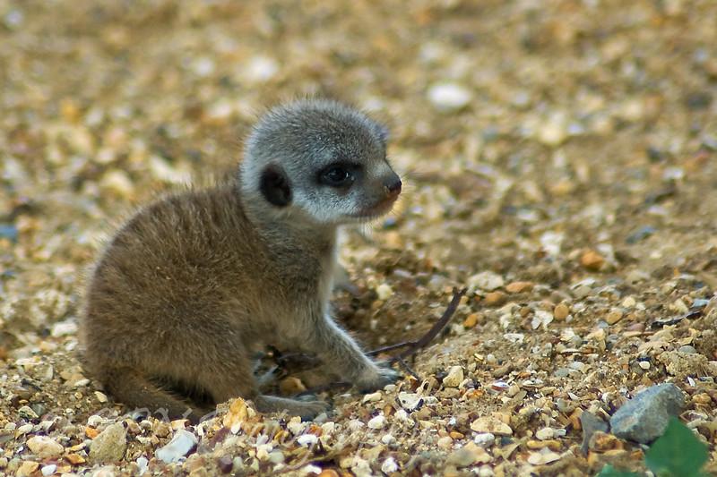 Meerkat kitten