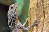 Hooded Dragon lizard