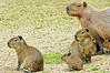 Mum Capybara with 4 day old babies