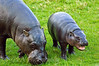 Pygmy Hippo mum with Baby Lola