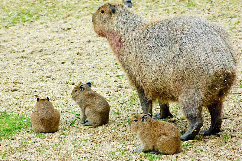 Mum Capybara with 4 day old babies