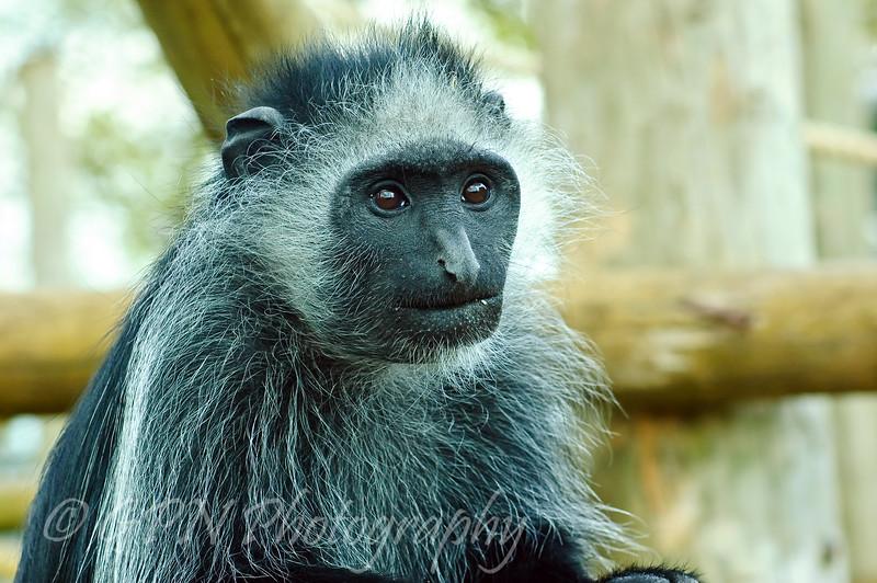 Black & White Colobus Monkey