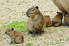 Year old Capybara with 4 day old babies