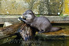 Short Clawed Otter