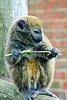 """Evil"" Gentle Lemur"