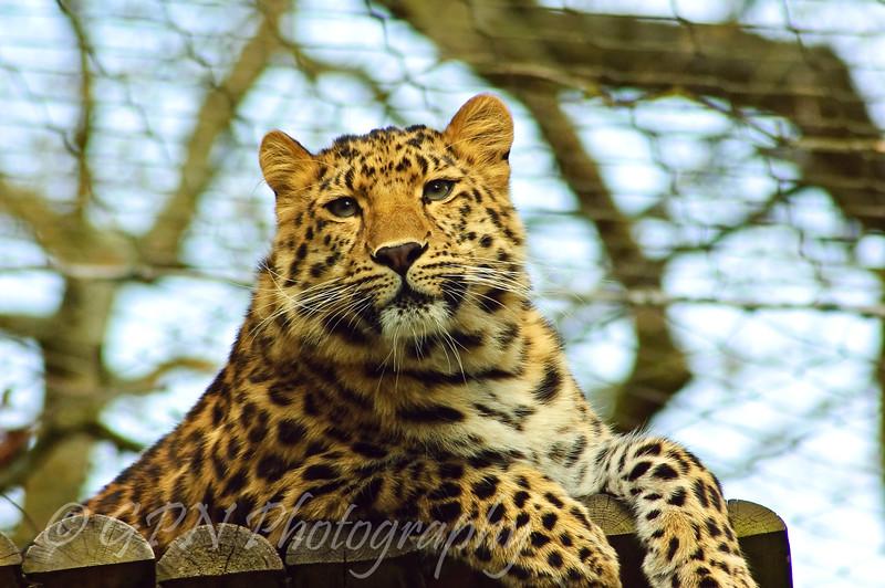 Kiska the Amur Leopard