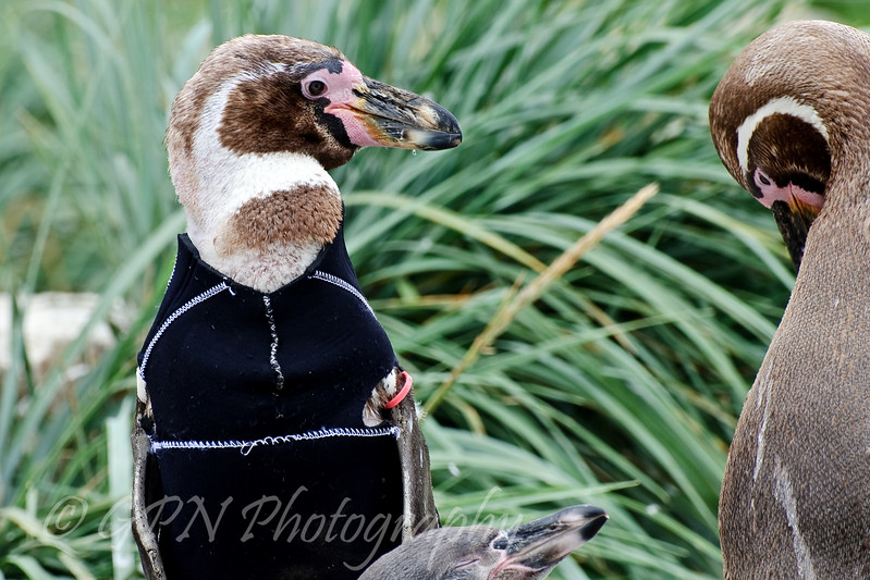 Wearing a wetsuit to protect him from the sunlight as his feathers had fallen out!