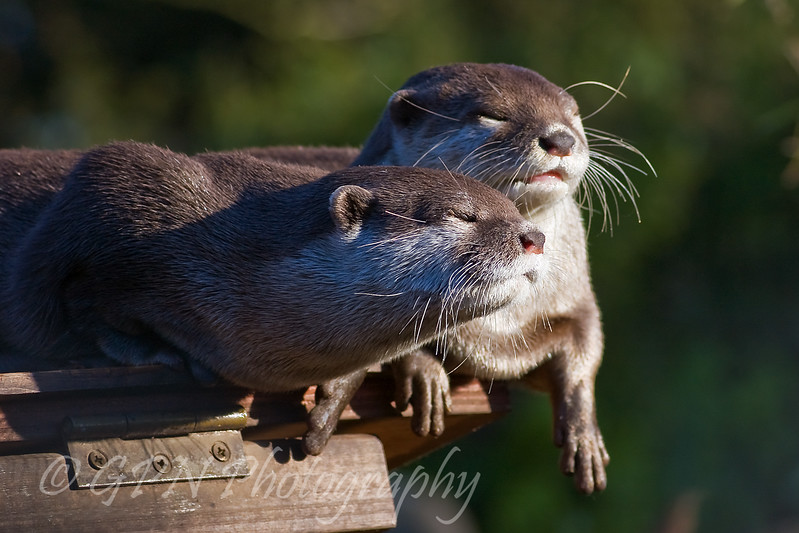 Short-Clawed Otter